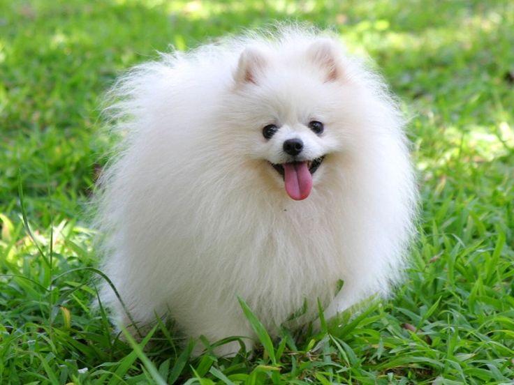 Pomeranian ::.Pomeranian Bazıları tilkiye baz Sık dik duran çifte kürkü sadece tek renkte olur. En yaygın renk kızıl, turuncu, mavi, kahverengi, siyah, beyaz ya da kremdir. Bazen çifte renklilere de rastlanır.