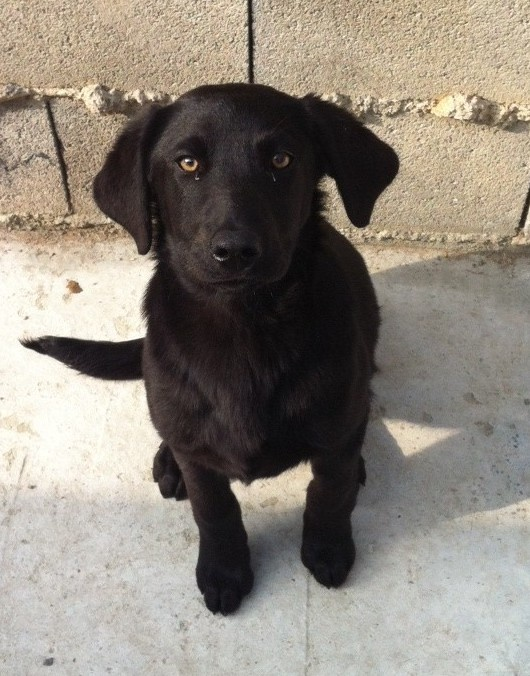 Majorca Shepherd Dog / Ca de Bestiar / Perro de Pastor Mallorquin