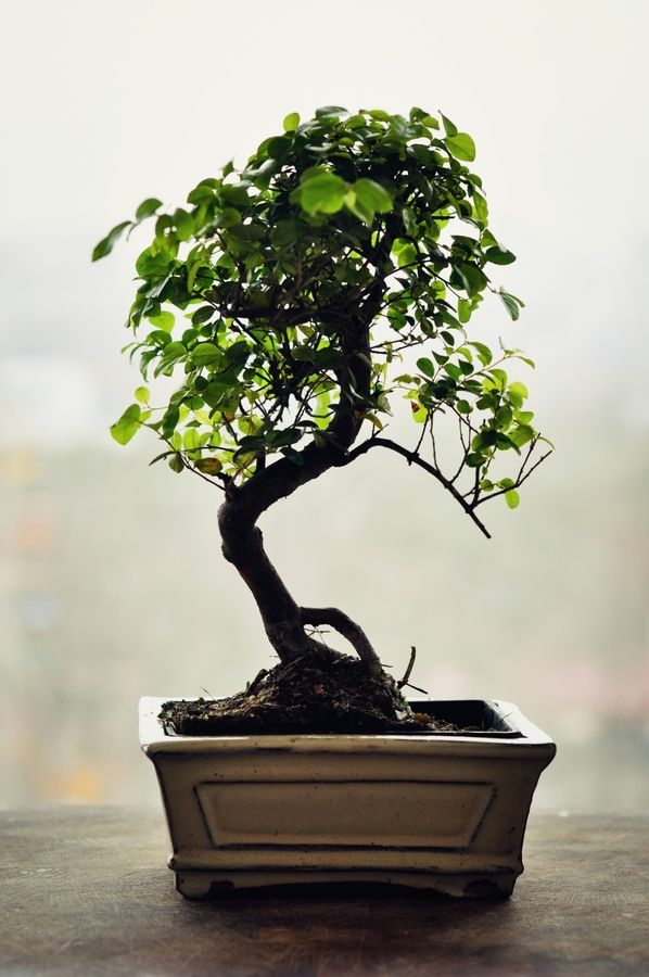 1000 images about the art of bonsai on pinterest for Most expensive bonsai tree ever