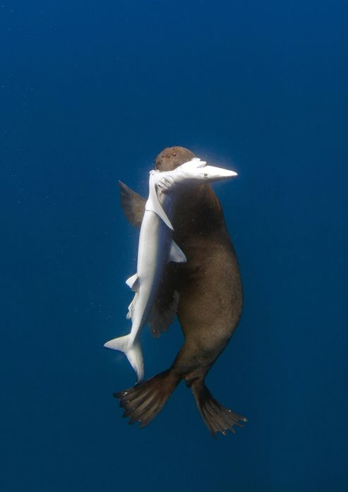 Fallows, Chris - Shark Eating Seal, South Africa