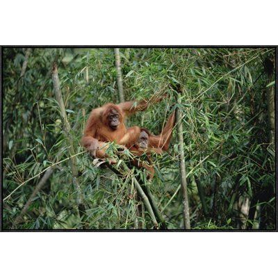 East Urban Home 'Orangutan Pair, Gunung Leuser National Park, Sumatra ' Framed Photographic Print on Canvas Size: