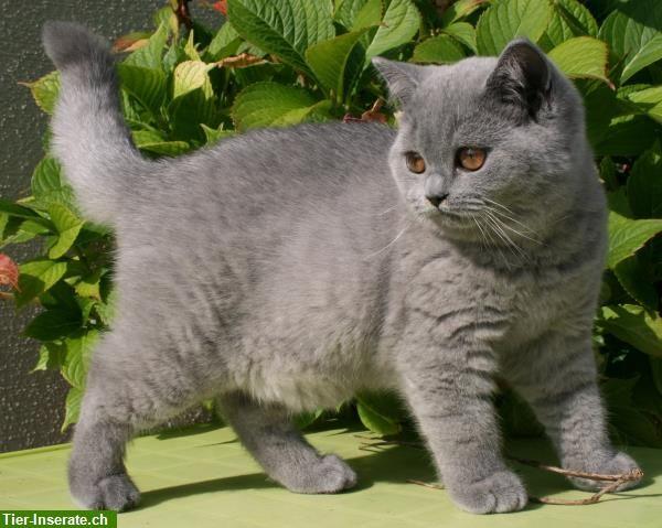 British Shorthair #cats #catlovers #funnycats #katzen #majaempfiehlt  – www.majaempfiehlt.de
