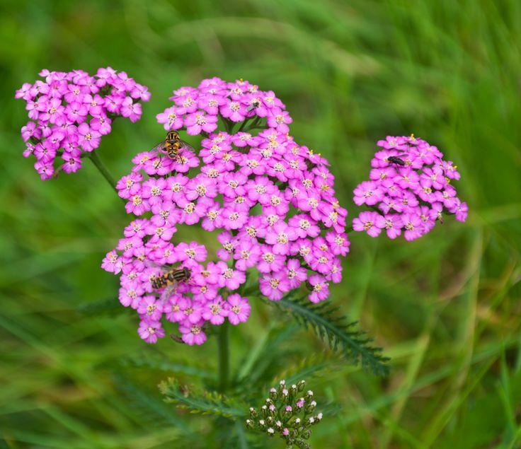 Heat Tolerant Perennials: 17 Best Images About A Skyland Garden Plant List On