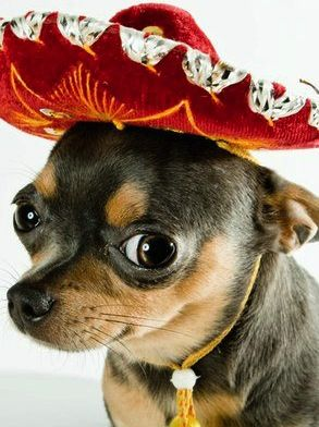 chihuahua dancing salsa 64 best pets other animals images by laurence sheinman 5056