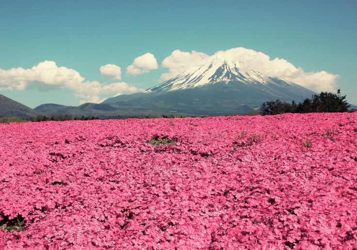 Dreamland Fuji: Field of dreams, prettiest in pink.