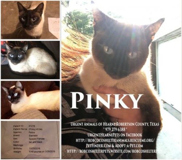 Siamese Cat For Adoption In Hearne Texas Pinky In Hearne Texas With Images Cat Adoption Siamese Cats Cats