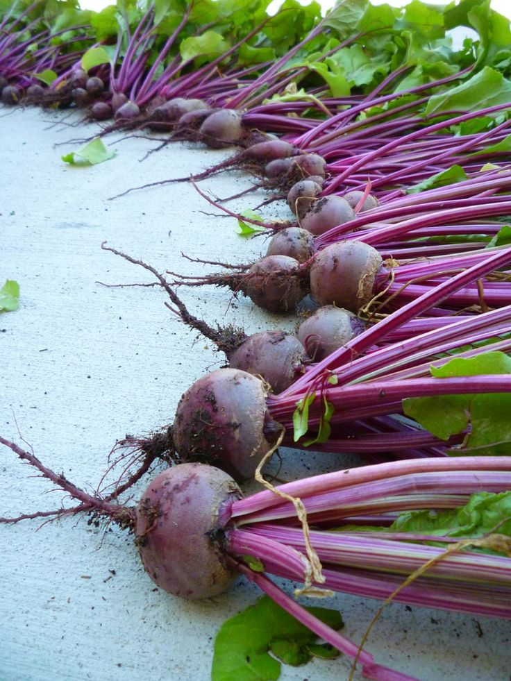 If you're looking to maximize your container garden yields, learning how to grow beets in containers is a must. Fast growing, great tasting, beets!