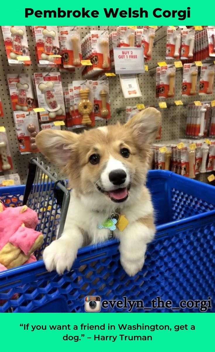 All About Small Pembroke Welsh Corgis Puppies Size