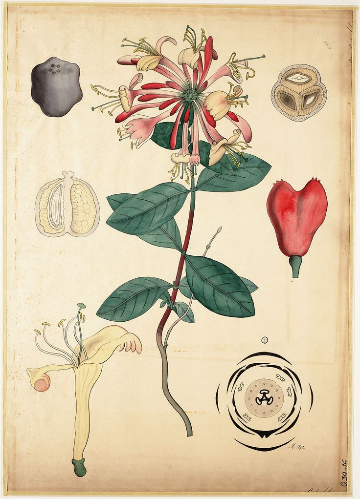 322 Best Botanical Ilustrations Images On Pinterest