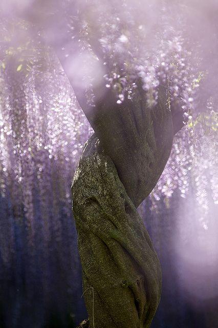 Wisteria tree at Kurosawa wisteria park, Gunma, Japan くろさわ藤園