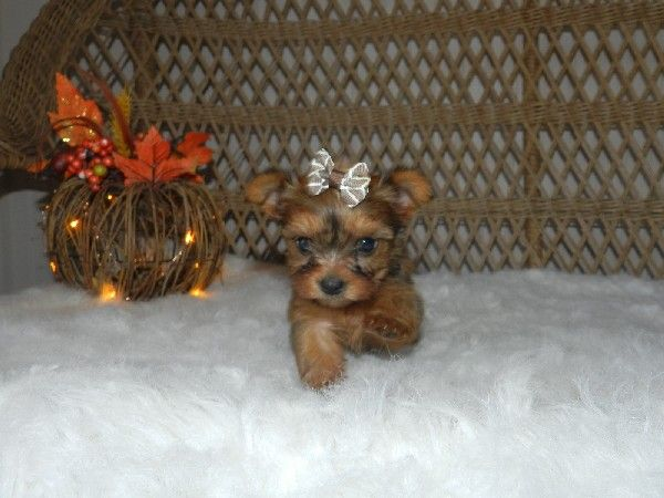 Teacup Yorkie Puppies For Sale Toy Yorkies Maltese Poodles Shih Tzu S Tiny Teacup Puppies