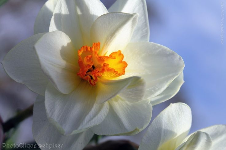Daffodils / Closeup of Springtime Daffodils in Full Bloom / Floral, Nature / Fine Art Photography Print. Photographed in mid-Spring, a closeup image of daffodils in full bloom, set against a backdrop of blue sky. The last remaining rays of the day's sunlight effectively caught in its glow some of the pale-hued petals & sensual lips of the flower's contrasting orange center... Would also be lovely for children's/nursery decor.