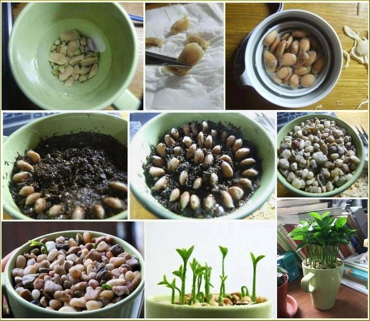 citroenzaden in een potje in huis zorgen voor een frisse geur en een mooi plantje...