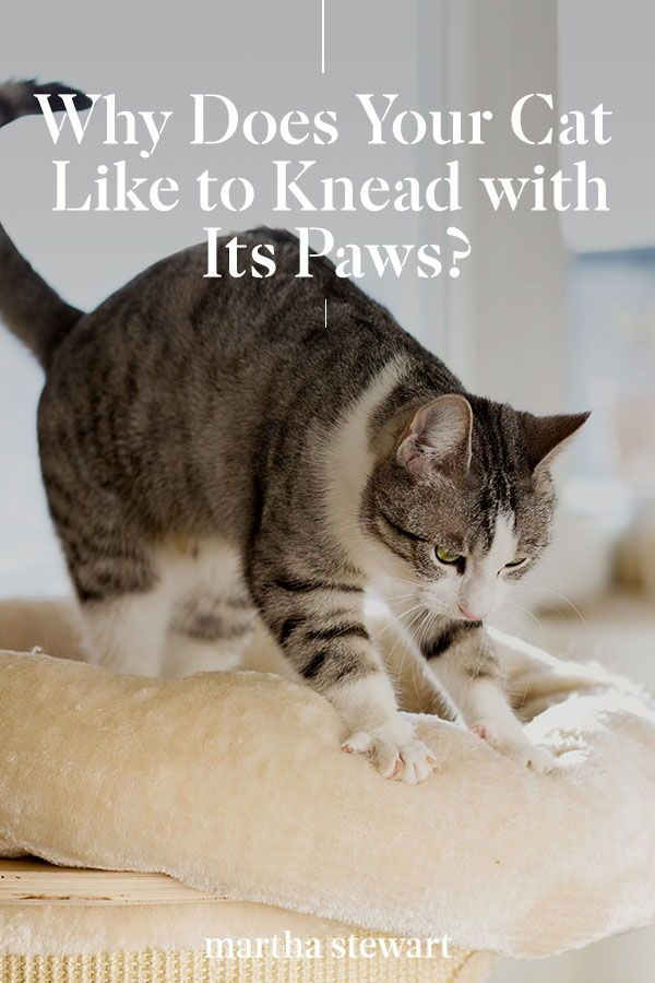 Why Does Your Cat Like To Knead With Its Paws In 2020 Pet Advice Cats Knead Cats
