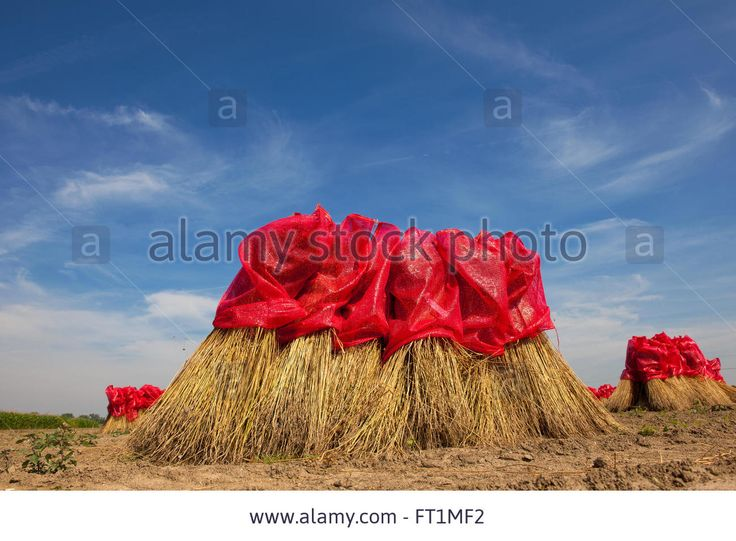 Flax Drying In The Summer Sun On A Dutch Farmfield Stock Photo, Royalty Free Image: 100841638 - Alamy