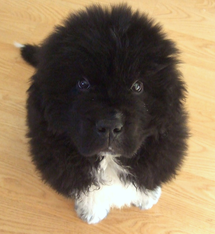 Newfoundland pup @10 weeks ♥  Don't you just want to kiss that nose!