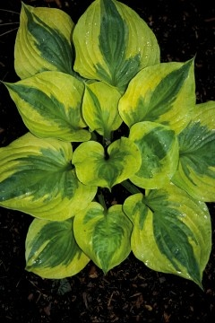 Hosta 'Summer Breeze' | Hostas Direct