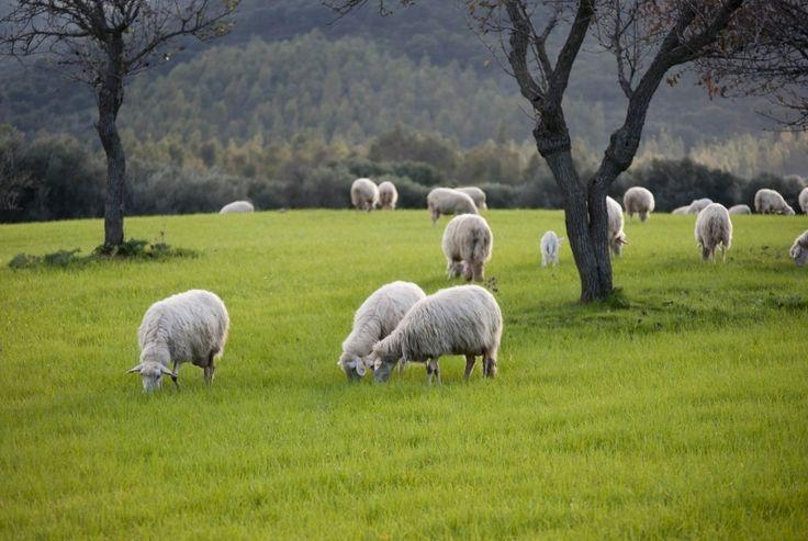 Więcej znajdziesz na: http://puszystaowca.pl/wypas-owiec-jozefow/