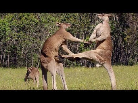 Kangaroo Boxing Fight - Life Story - BBC - YouTube