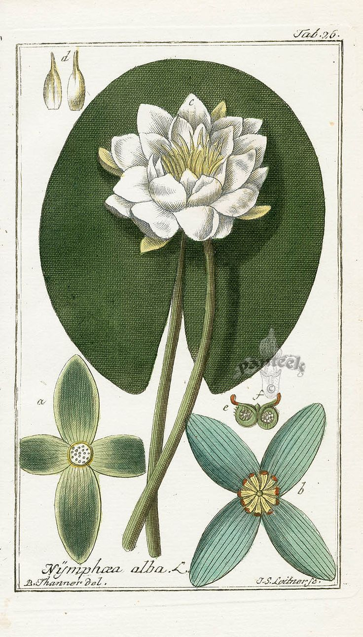 Water Lily, Nymphaea alba by Zorn from Icones Plantarum Medicinalium 1799-1790