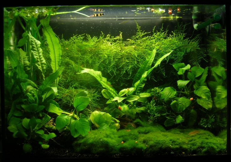 Marimo Carpet And Anubias love It Fantasy Aquarium