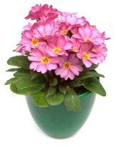 primrose flowers growing primrose plant indoors picture care tips