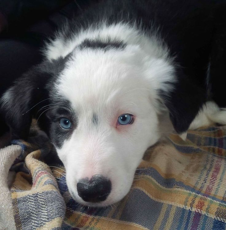 Piper is a very gentle boy, his most striking features are his beautiful blue eyes.