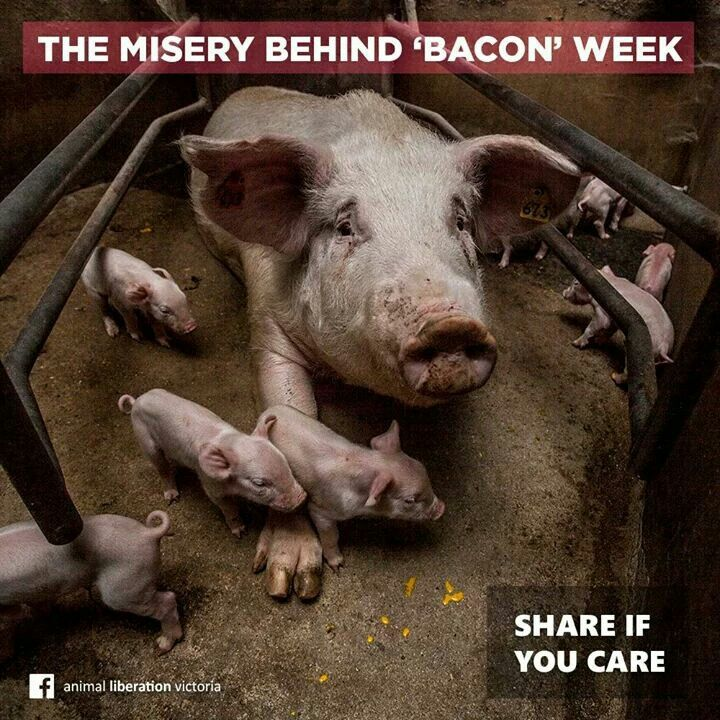 Animal Liberation Victoria: Bacon, So Sad And Sad On Pinterest