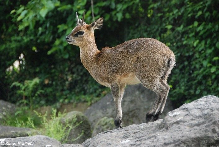 The name Klipspringer is the Afrikaans for 'rock jumper' and alludes to the animal's ability in rocky territory where it can be seen moving freely, seemingly on tiptoe.
