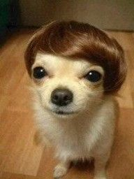 Note- chihuahuas do not like wearing wigs, hats, or sunglasses.  Speaking from experience.