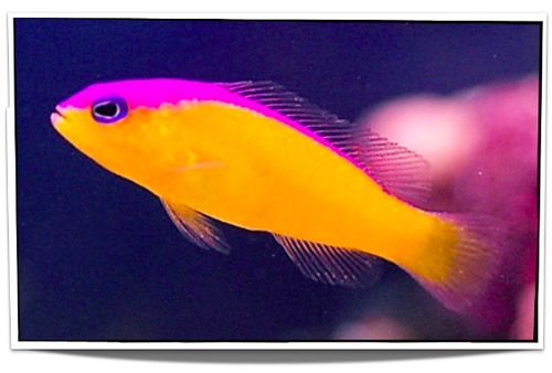 Pet Diadem Dottyback For Sale - $9.95 - Pet Fish For Sale offers an expanding variety of saltwater fish for sale in USA. Visit www.petfishforsale.com today!