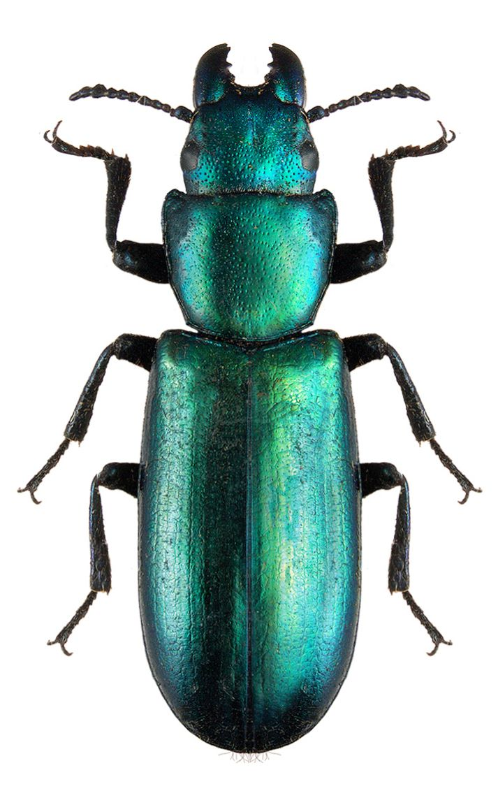 Pin By Magdalena Leszczyniak On Robaki Insects Bugs Beetle