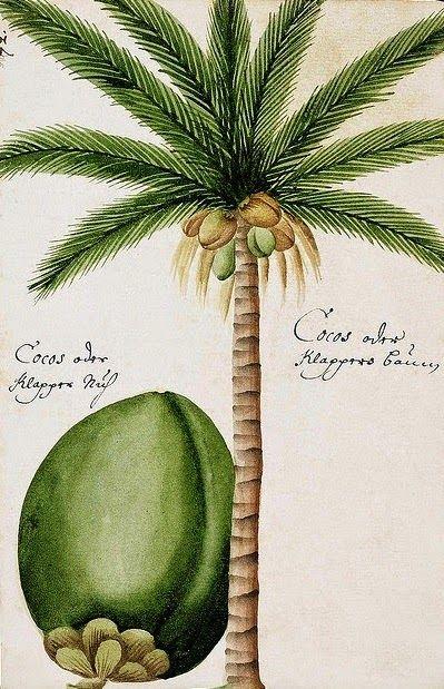 Olímpia Reis Resque: Viajantes: Coqueiros Texto de Maximiliano, príncipe de Wied Neuwied ((1782-1867) sobre os coqueiros que encontrou em sua viagem. Ilustração: G. F. Müller von Ruffach, 1681. No Blog!