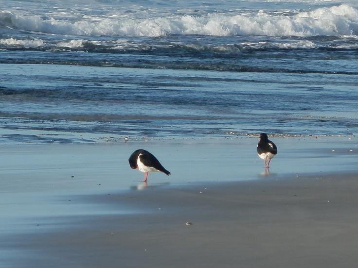 Bicheno Birds