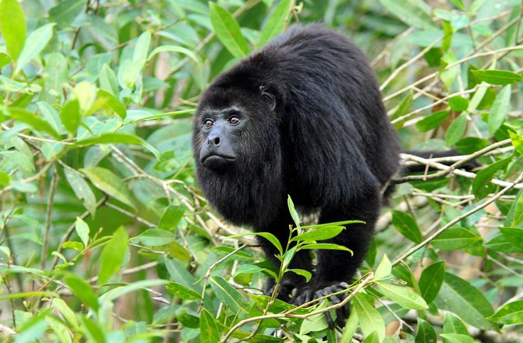 Belize Rainforest | ... to Rainforest fusciceps, the spider monkey, poison dart thousands
