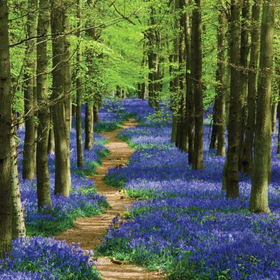 bluebell forest path, england