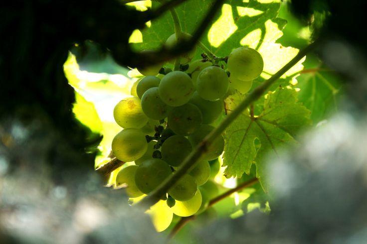 Uvas verdejo listas para ser recogidas #vendimia