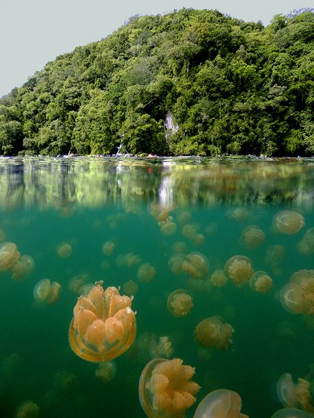 """Jellyfish Lake, Republic of Palau, Micronesia by ©hapulcu on Flickr. """"The jellyfish evolved in the lake without any predators, and over time grew vegetarian and lost their ability to sting. Their red color is a result of an algae diet. The water in the lake is salty and connected underground to the ocean but not even the tiniest jellyfish can get in or out."""""""