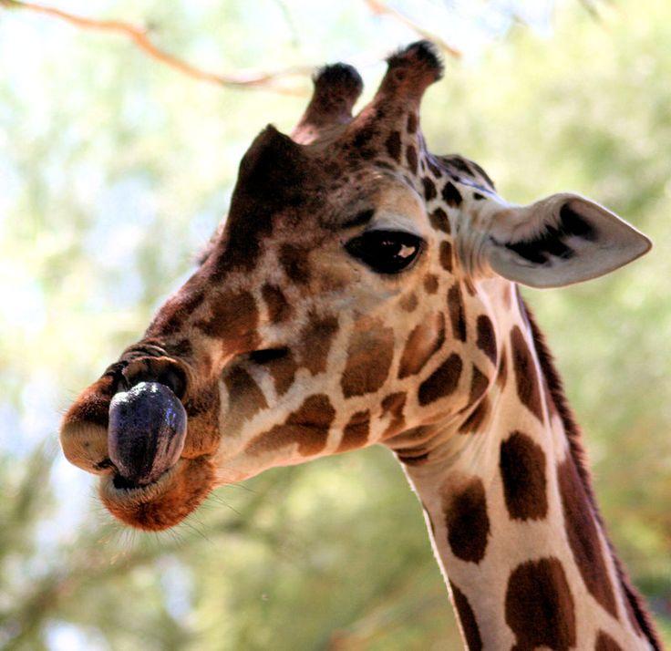 #funny #giraffe