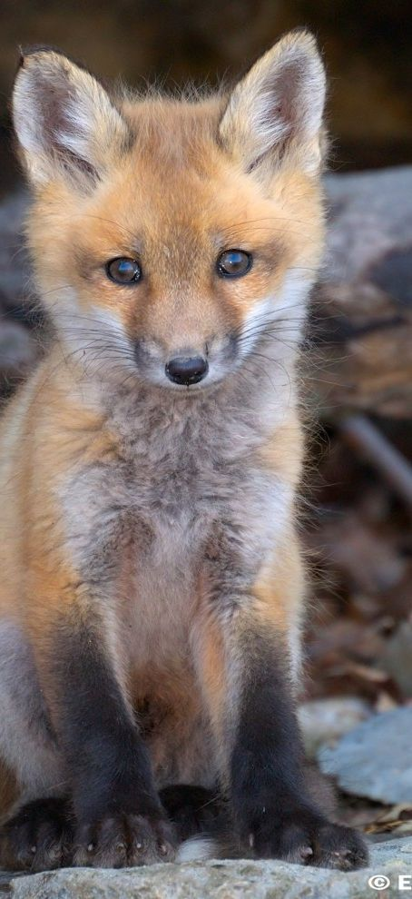 Red fox pup, baby fox - Click image to find more Animals
