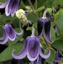 Clematis integrifolia Fascination When I first saw this 8 years ago I had to seen a none vining clematis, just love it