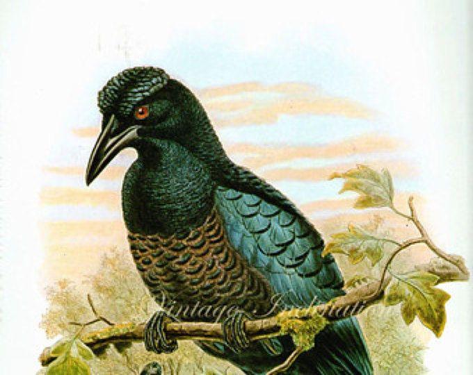 Stampa antica, grandi uccelli grafico 64 bella parete arte colore vintage Litografia illustrazione delle piume piume uccelli uccello
