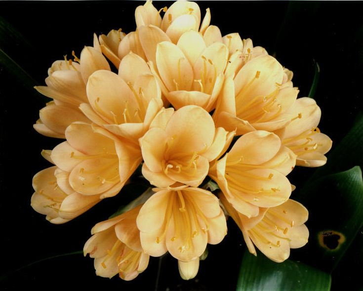 New gold flowers | ... clivia has the deepest yellow to gold flowers of all it turns a 4