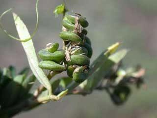alfalfa seed pods
