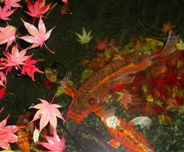 The Water Garden & koi