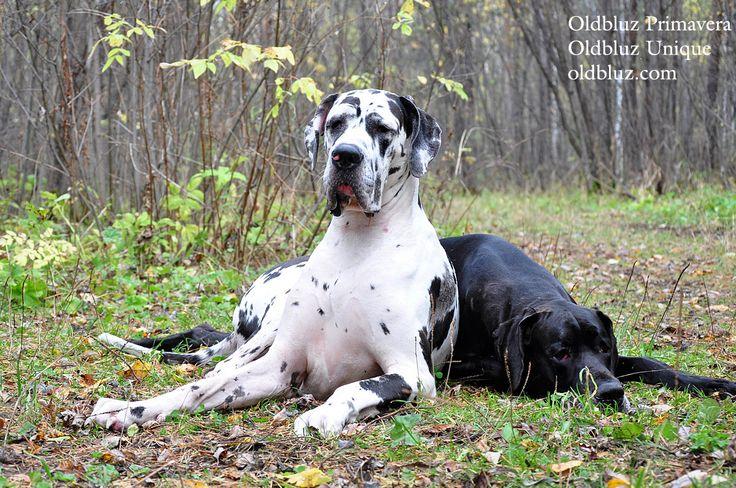 Oldbluz Primavera black female Oldbluz Unique harlequin female