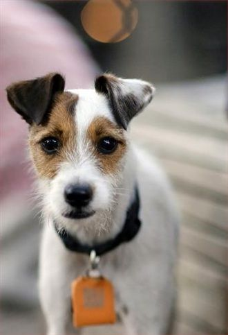 Jack Russell Terrier - Breed Profile:    Origin: England  Colors: White with black and tan markings  Size: Small  Type of Owner: Experienced  Exercise: Regular  Grooming: Little  Trainability: Easy to train  Combativeness: Tends to be dog-aggressive  Dominance: Moderate  Noise: Average barker