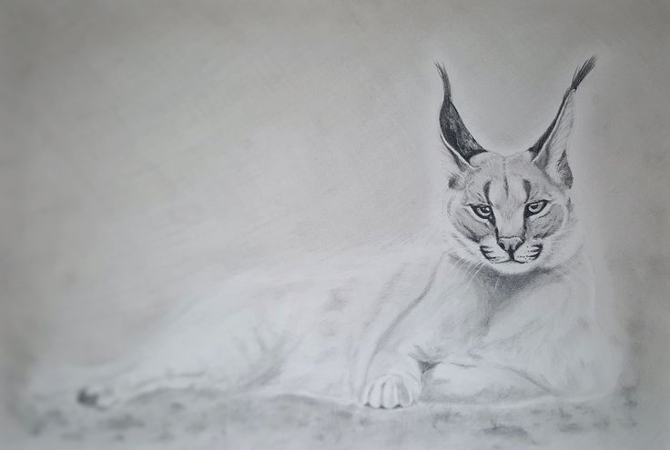 Caracal pencils realistic drawing by Magdalena Greinert
