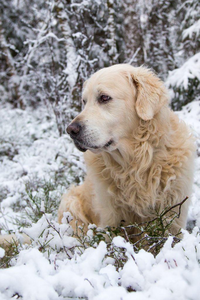 Best Animal Golden Retriever Images On Pinterest Golden - Golden retriever obedience competition fail
