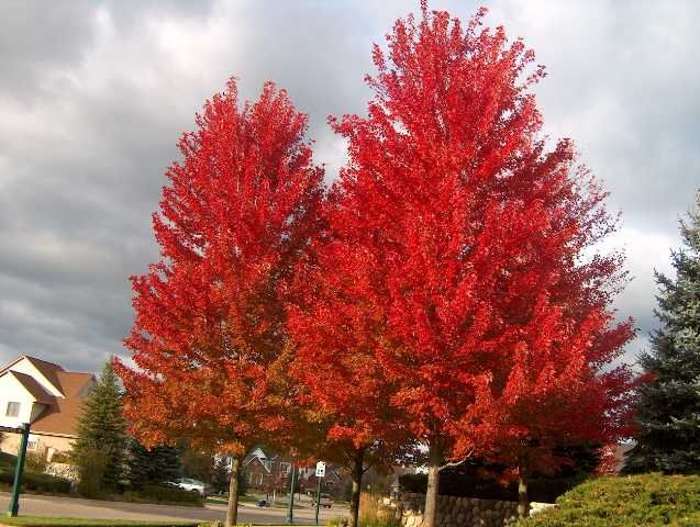 I love my autumn blaze maple tree in the fall:)  I have had one for 6 years now and it has grown fast!!